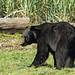 Black Bear (Paul Marshall)
