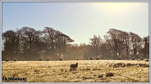Frost, Sheep and sunshine