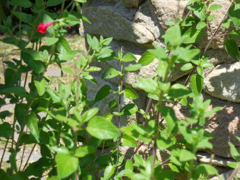 Salvia microphylla 'Kunth' 1