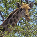 Giraffe (Paul Stanbury)