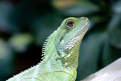 Lizard face