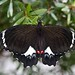 Orchard Swallowtail - Photo (c) Mark Woolston, some rights reserved (CC BY-SA)