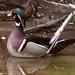 Wood Duck- Aix sponsa