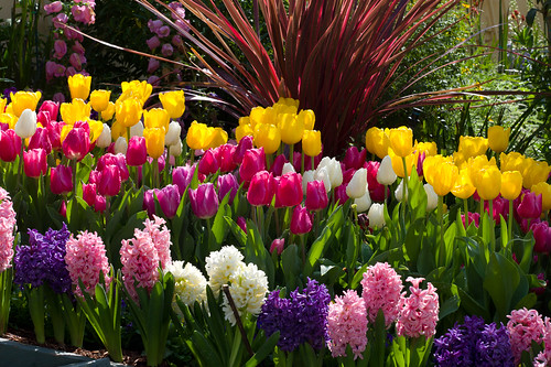 Tulips and Hyacinth closer
