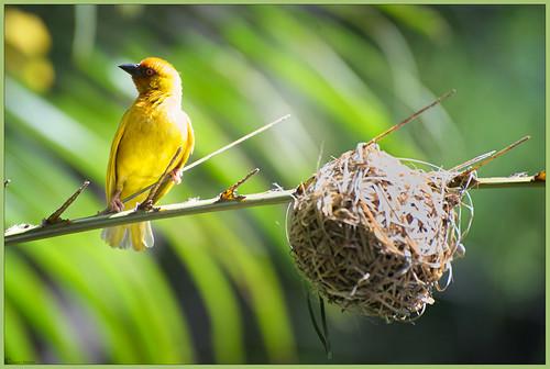 africa bird golden african weaver joost vogel d700 notten psubaureusaureoflavus