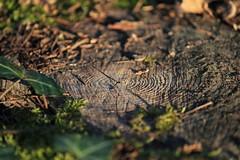 Stump, Bois des Hâtes, Indre-et-Loire, France