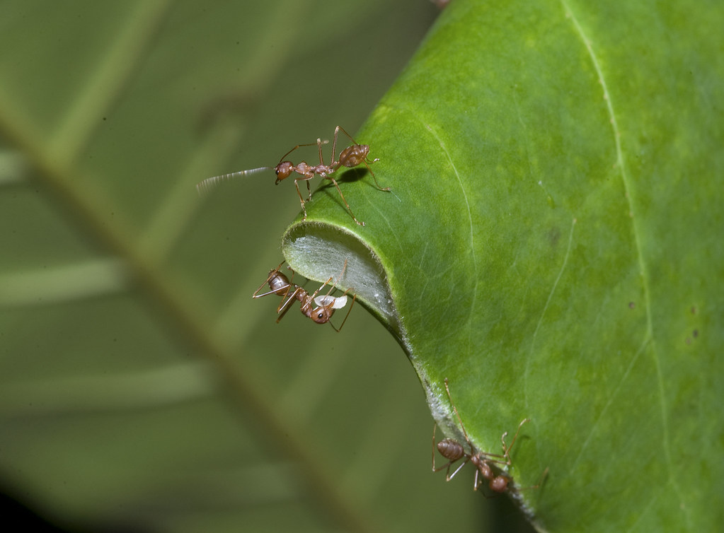 Weaver ants with larvae