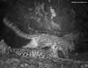Three snow leopards at night