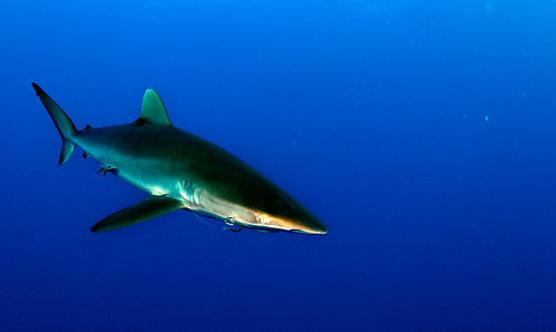 Silky Shark by Joi via Flickr