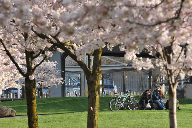 Cherry blossoms in Waterfront Park-18-17