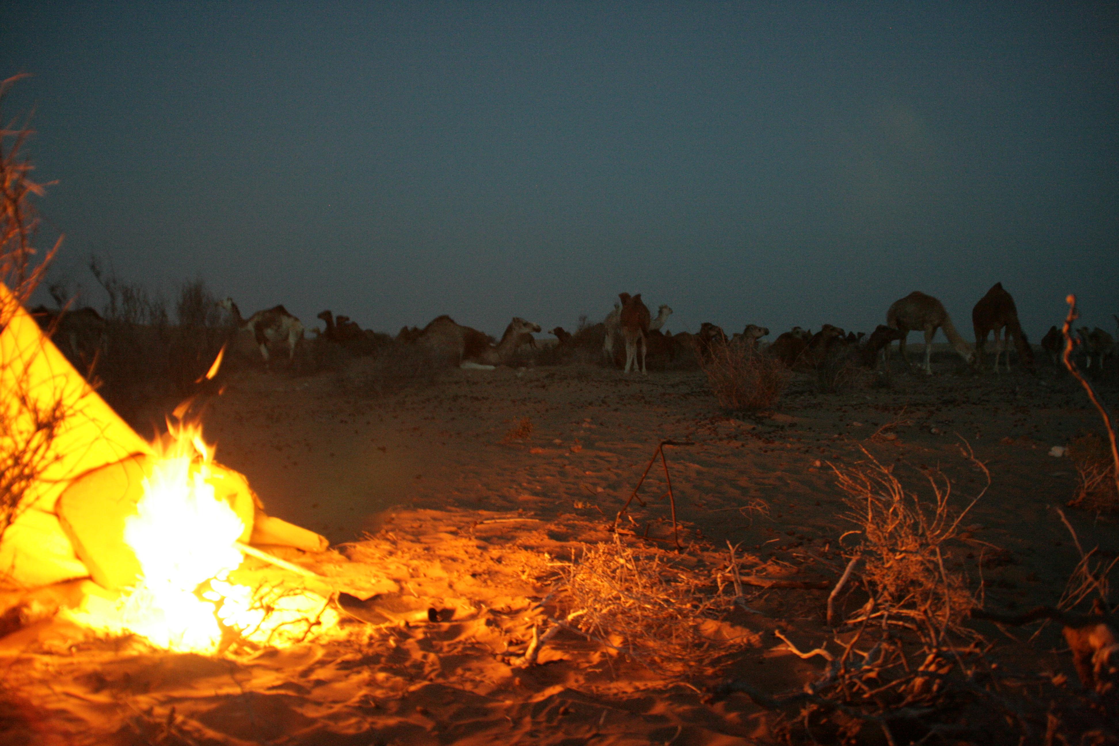 80 camells...
