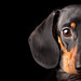 Moon the dachshund. [EXPLORED!] by rpcruab
