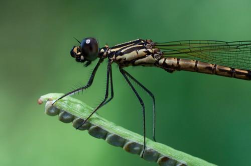 dragonfly micro malaysia d90 kahang