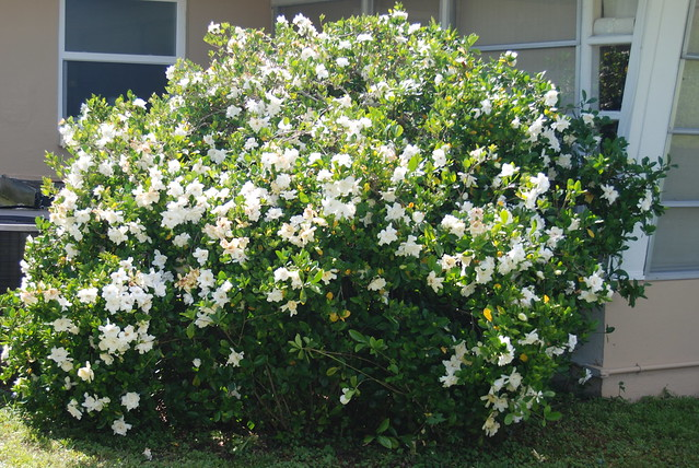 Gardenia Bush http://www.flickr.com/photos/tsteinke/5661224654/