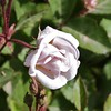 This was a tiny rose bush - lovely