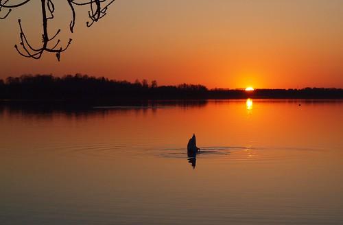 sunset lake nature landscape lago see swan scenery meer europe estonia baltic vesi baltics estland järv viro estonie õhtu loojang maastik λίμνη эстония saadjärv tartumaa oзеро vanagram äksi εσθονία
