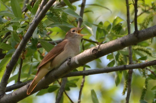 Common Nightingale (Luscinia megarhynchos) per Noel Reynolds a Flickr