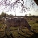 Small photo of Charolais runderen grazen
