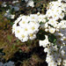 Small photo of Spiraea