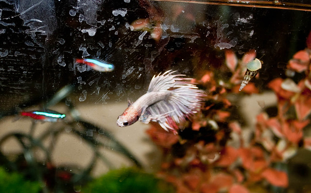 All about betta fish crowntail betta in an planted tank for Tank mates for betta fish