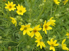 annual plant, flower, yellow, plant, mustard, herb, wildflower, flora, sulfur cosmos, meadow,