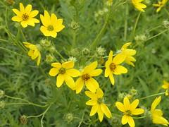 brassica(0.0), jacobaea vulgaris(0.0), brassica rapa(0.0), chelidonium(0.0), chamaemelum nobile(0.0), flatweed(0.0), produce(0.0), common tansy(0.0), common tormentil(0.0), rapeseed(0.0), annual plant(1.0), flower(1.0), yellow(1.0), plant(1.0), mustard(1.0), herb(1.0), wildflower(1.0), flora(1.0), sulfur cosmos(1.0), meadow(1.0),