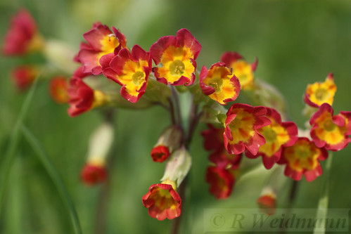 Red Cowslips