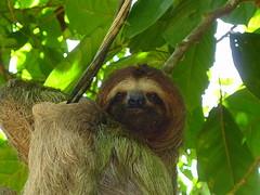 primate(0.0), new world monkey(0.0), animal(1.0), three toed sloth(1.0), mammal(1.0), fauna(1.0), jungle(1.0), wildlife(1.0),
