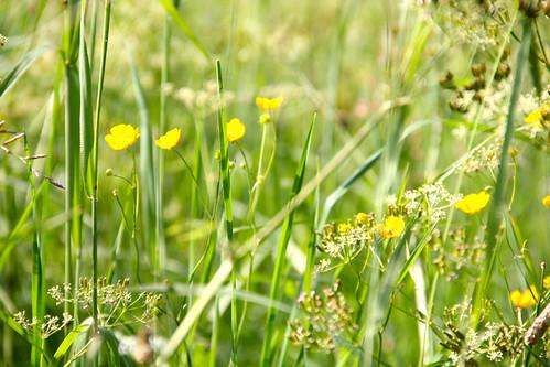 summer flower sommar buttercups smörblommor