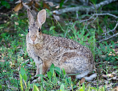 hare(0.0), white-tailed deer(0.0), animal(1.0), grass(1.0), rabbit(1.0), domestic rabbit(1.0), pet(1.0), fauna(1.0), wood rabbit(1.0), rabits and hares(1.0), wildlife(1.0),