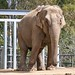 Small photo of San Diego Zoo Indian Elephant