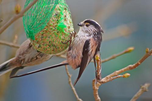 quelques conseils pour nourrir les oiseaux en hiver doc de haguenau. Black Bedroom Furniture Sets. Home Design Ideas