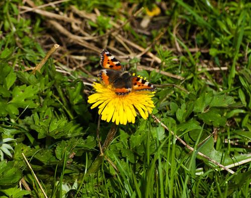 Tortoiseshell butterfly feeding on a dandelion