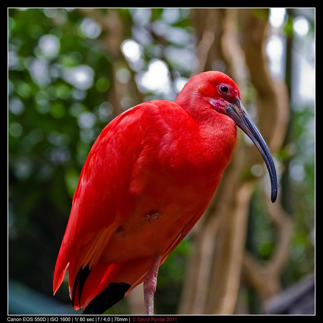 One cool looking red bird   Flickr - Photo Sharing!