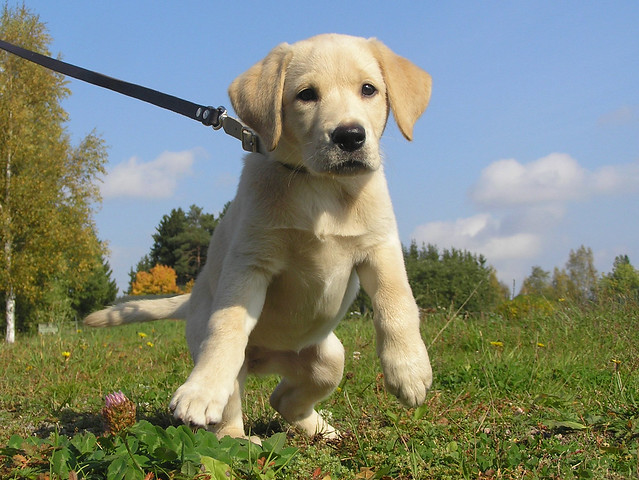Guide Dog Puppy In Training Vest