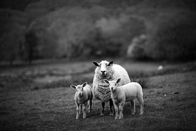 Sheep In wales  (3 of 3)