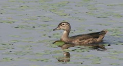 Wood Duck, Yellow Creek SP, Indiana County, PA