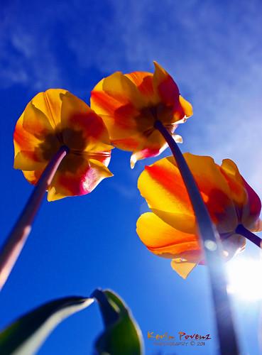 blue sky sun holland sunrise photography tulips may morningsky westmichigan hollandtulipfestival