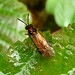 Small photo of Turnip Sawfly. Anthalia rosae