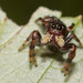 Mustachioed jumping spider by Michael Bok