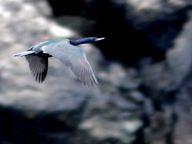 Pelagic Cormorant 20110625