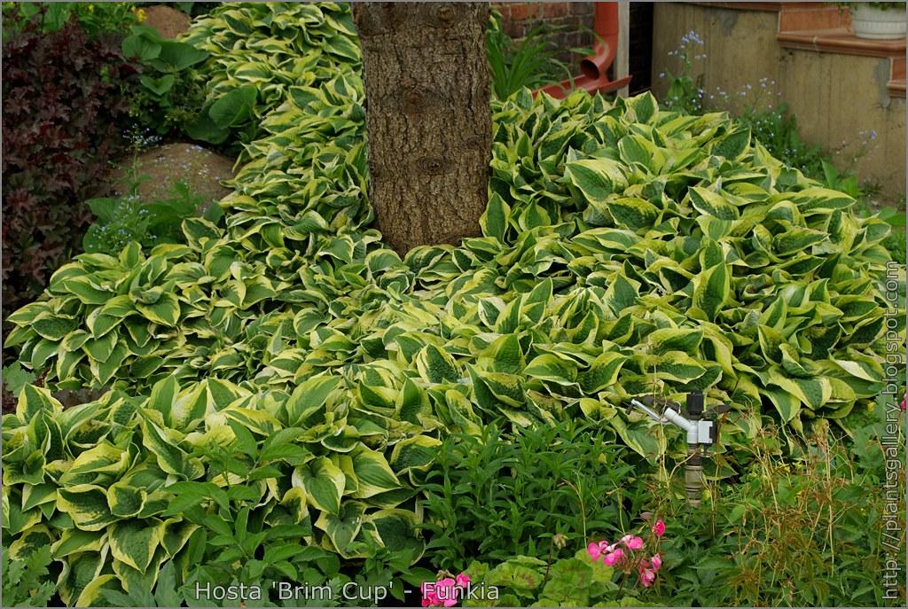 Plant gallery encyklopedia ro lin hosta 39 brim cup 39 funkia for Brims farm and garden