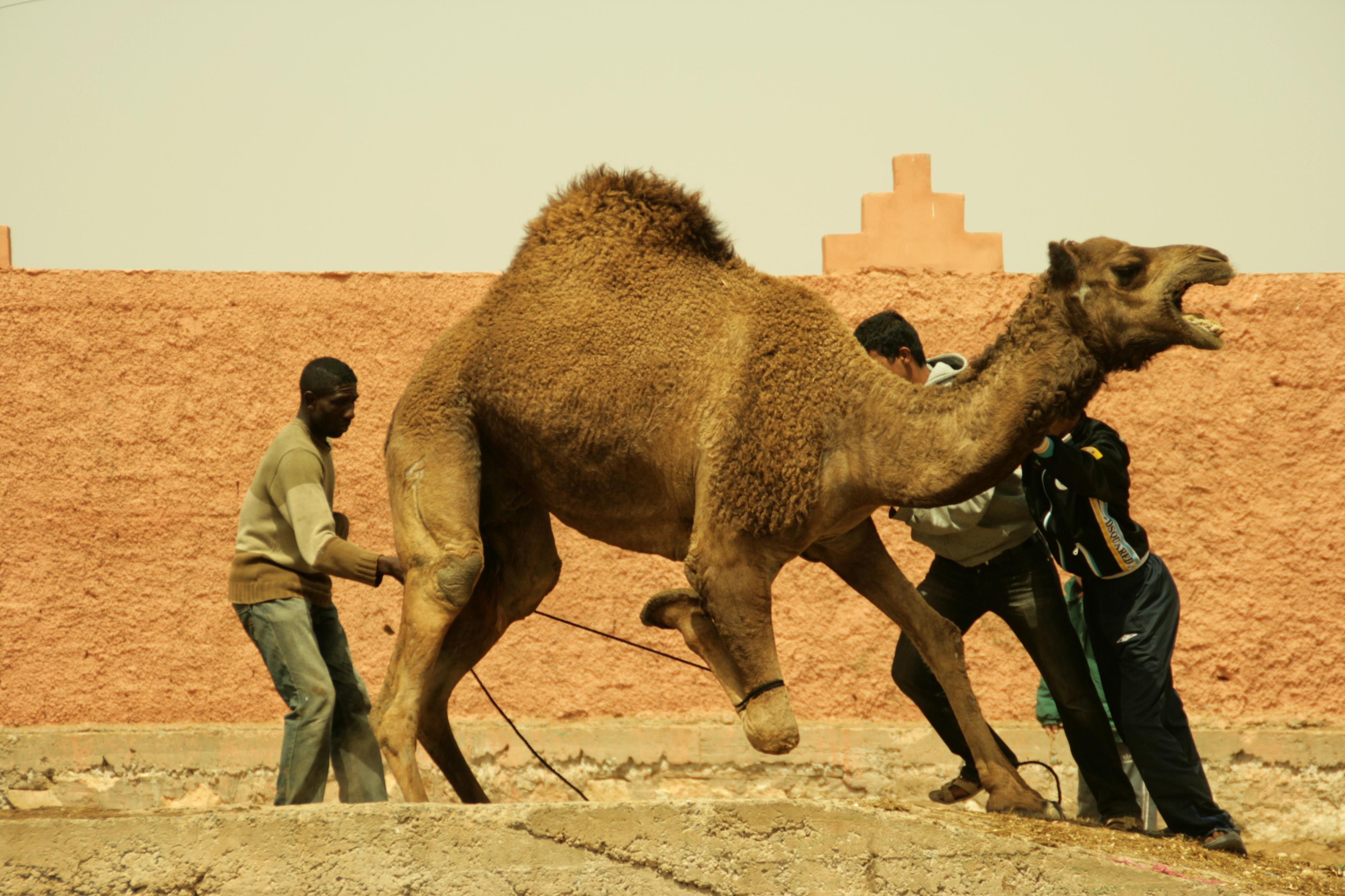 Venda d'un camell 1