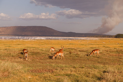 Impala, Lake Nakuru