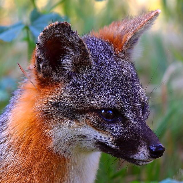 IMG_2874 Santa Cruz Island Fox, Channel Islands National Park