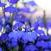 I love these gorgeous blue fleurs.
