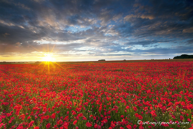 nature landscape , Poppyfield Sunset