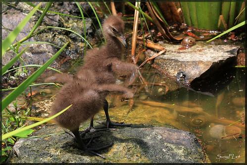 baby nature birds florida wildlife lakeland limpkin limpkinchicks
