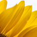 Backlit Sunflower by Yures