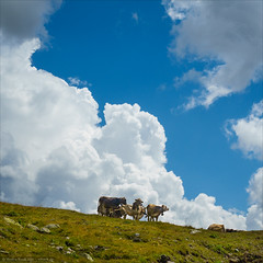 Kühe am Bernina